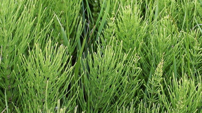 Horsetail plant