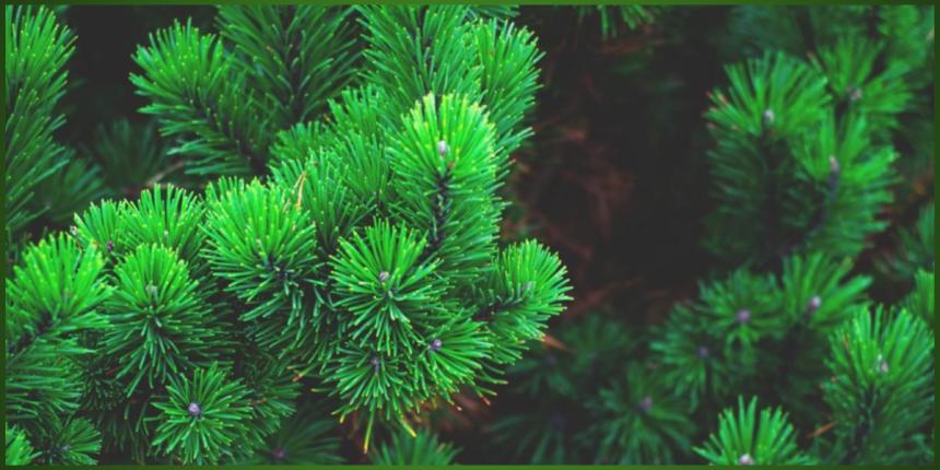 Spruce tree branch