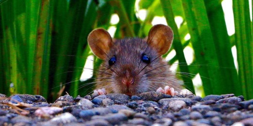 Rat peeking over pebbles