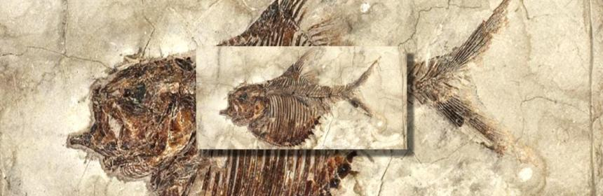 fossil fish ellimichthys